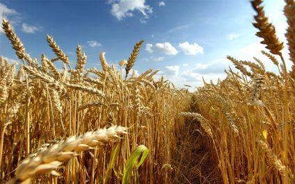 L'Algérie et la Russie compensent la baisse de production mondiale de blé