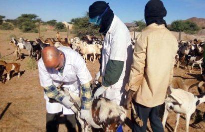 Tébessa: plus de 154.000 têtes ovines vaccinées contre la peste des petits ruminants