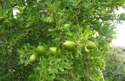 Tiout (Naâma): Vers la production de l'huile d'argan