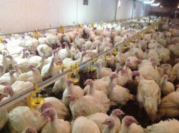 Abattus dans des circonstances inconnues, 1,5 quintal de viande de dinde ont été saisis