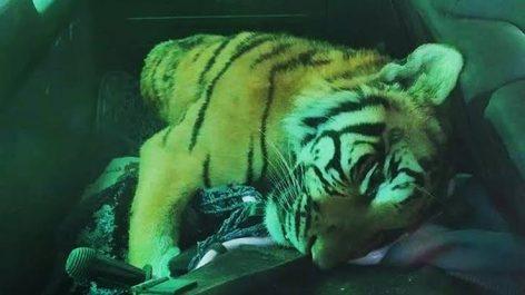 Tigre abattu à Touggourt : Vague d'indignation sur les réseaux sociaux