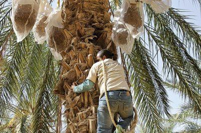 Datte algérienne : Deglet Nour veut se relancer à l'export