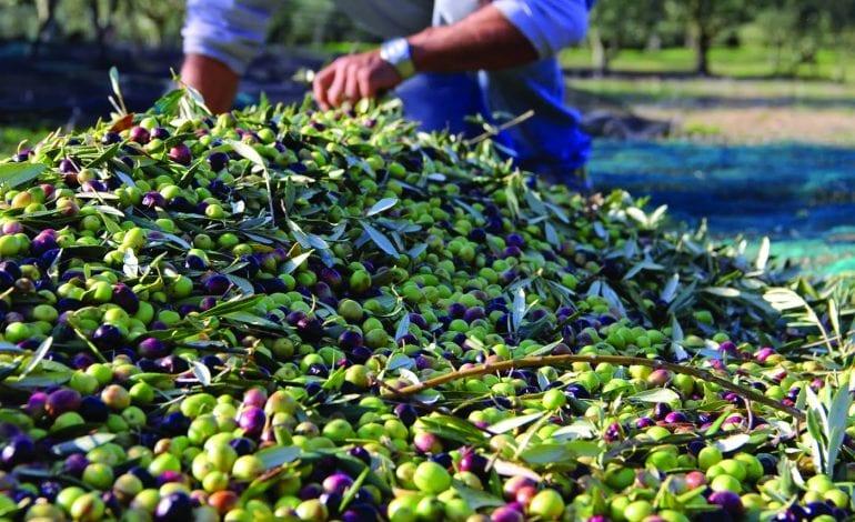 Production de l'huile d'olives : l'UE lance une opération expérimentale à Tizi Ouzou
